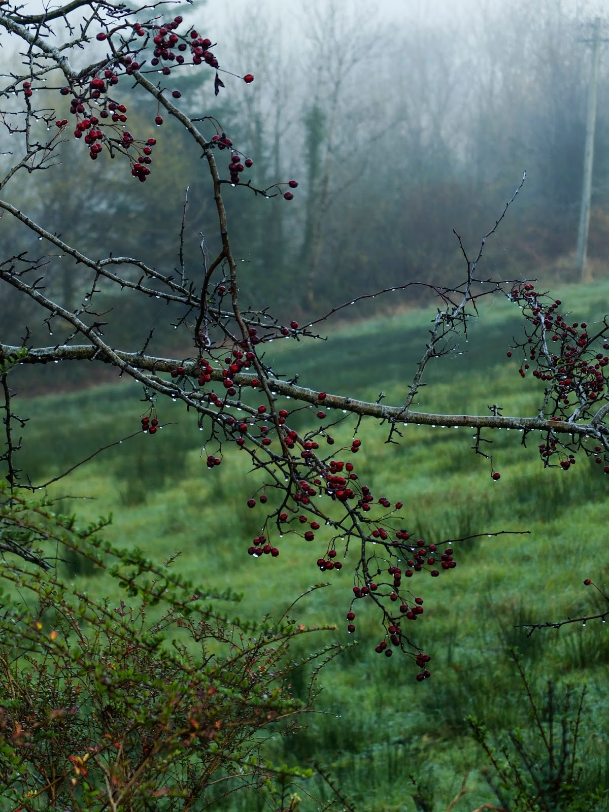 Hawthorn berries on bare tree branches covered in dew on a misty hillside.