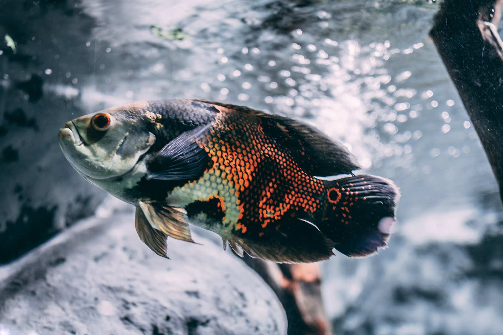 brown-silver-and-black-oscar-fish-images
