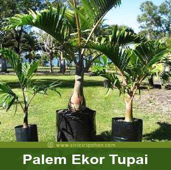 ciri ciri pohon palem ekor tupai