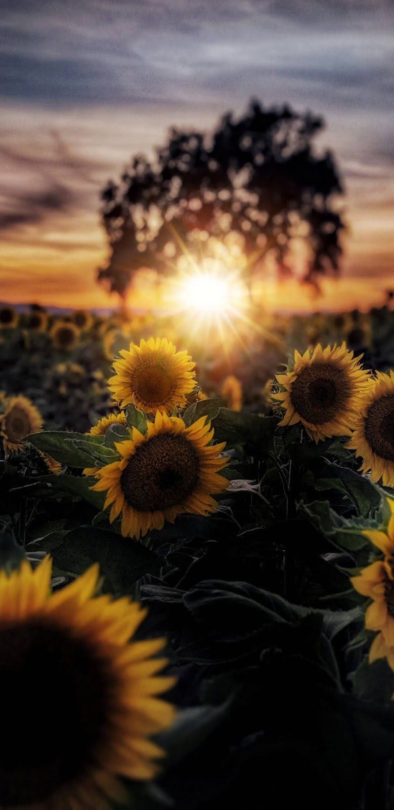 Sunflowers under the sunset