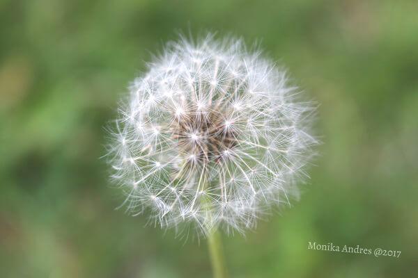 Pusteblume Nahaufnahme / eigene kleine Welt