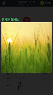 В свете заходящего солнца, в небольшой дымке растет ячмень на поле