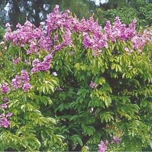 Jual Pohon Bungur Bunga Ungu - Aneka Pohon Pelindung