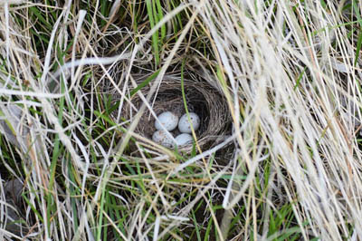 Photo of Dark-eyed Junco nest. Cup nest with 4 white eggs spotted with brown and hidden among grass