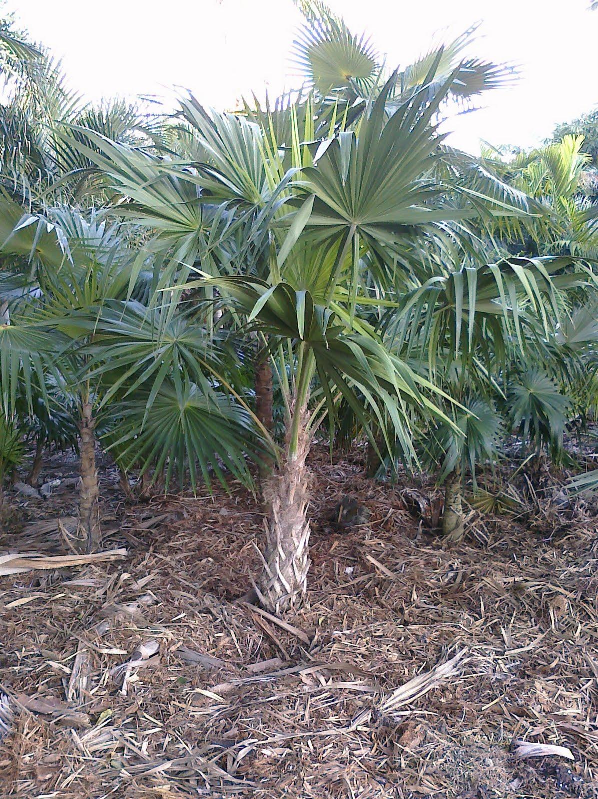 A Quality Plant Florida Thatch Palm Florida Native