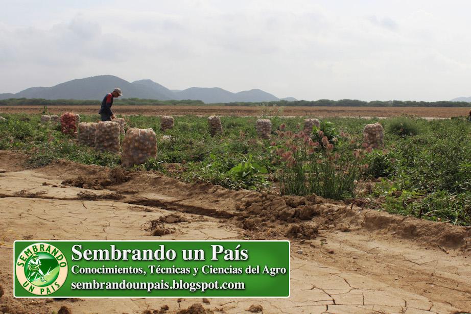 cosecha de cebolla en Quíbor Estado Lara