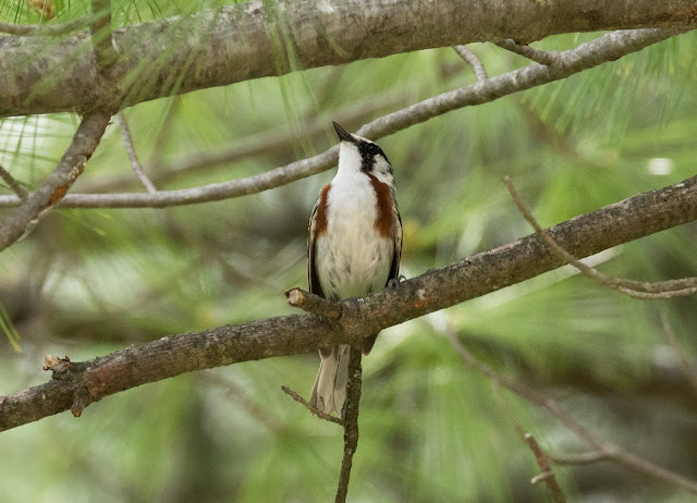 Chestnut-sided Warbler - Shumsky Road, Michigan, USA