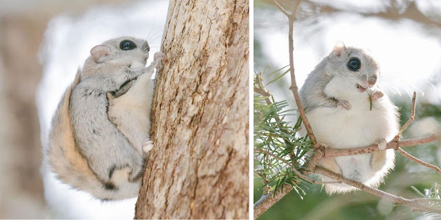 The Baby Japanese Dwarf Flying Squirrel Is Definitely The Cutest Animal On Earth