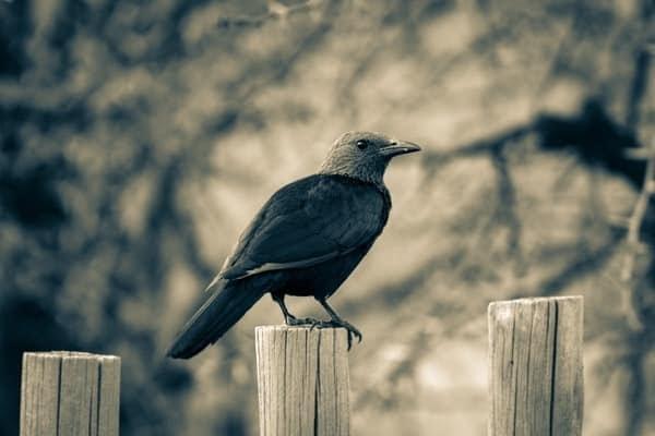 कावळ्याची संपूर्ण मराठी  माहिती | crow information in marathi