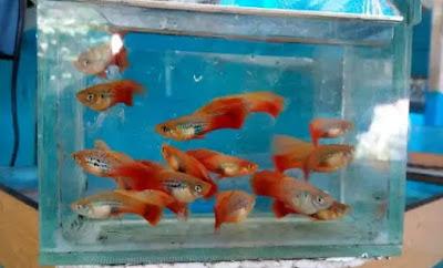 Gambar Ikan Platy Cendrawasih