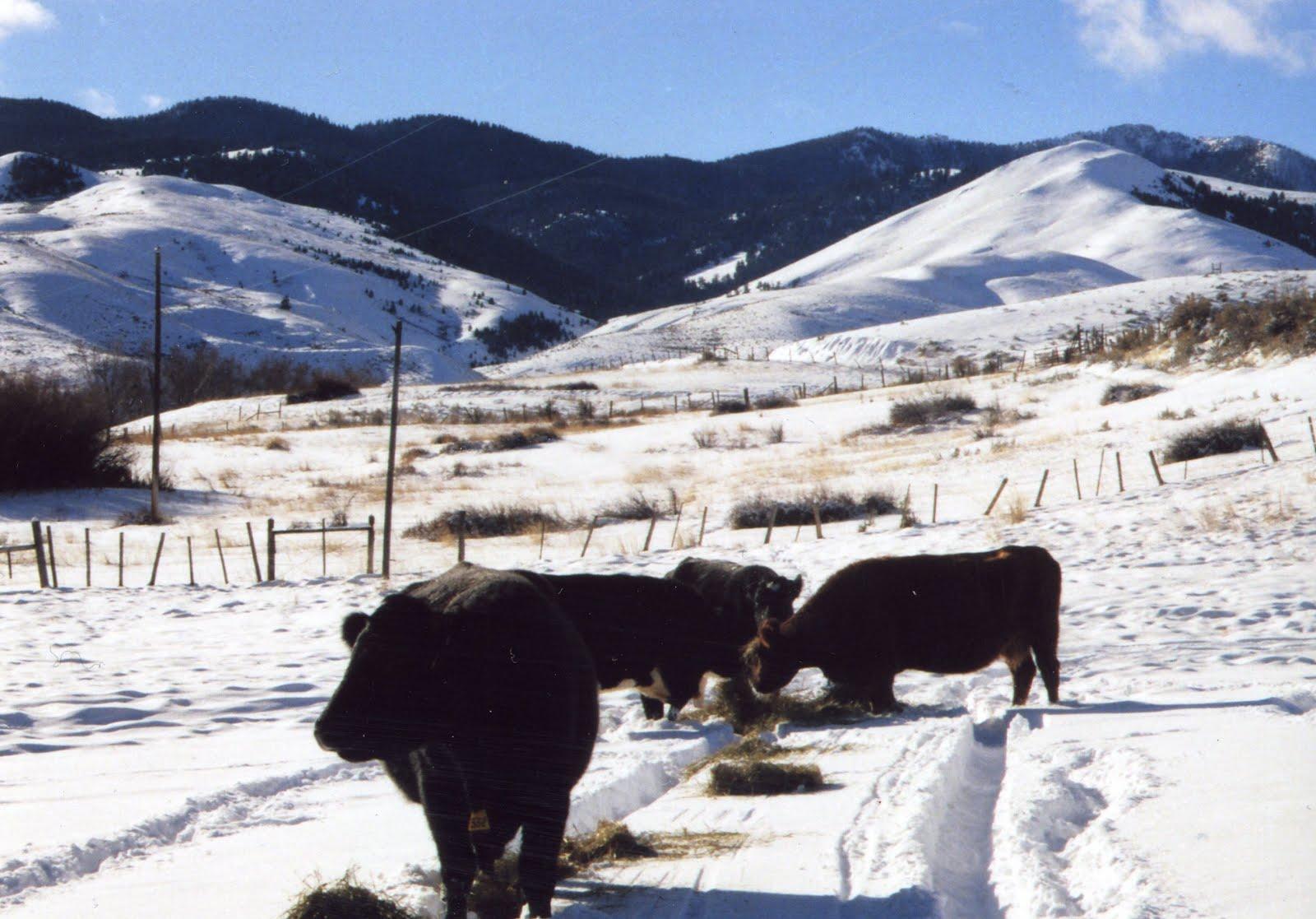 Feeding Cows Hay Alfalfa Pellets