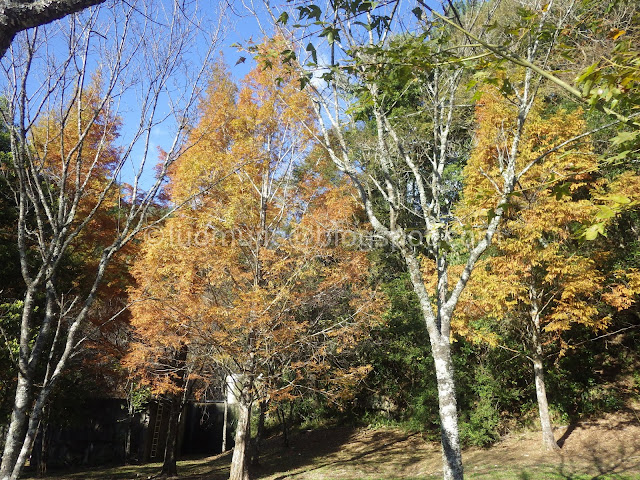Taiwan Aowanda (奧萬大) maple season - dawn redwood