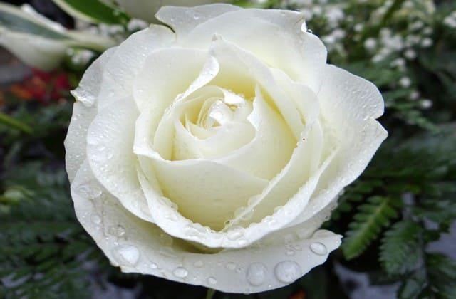 bunga mawar putih yang mempesona