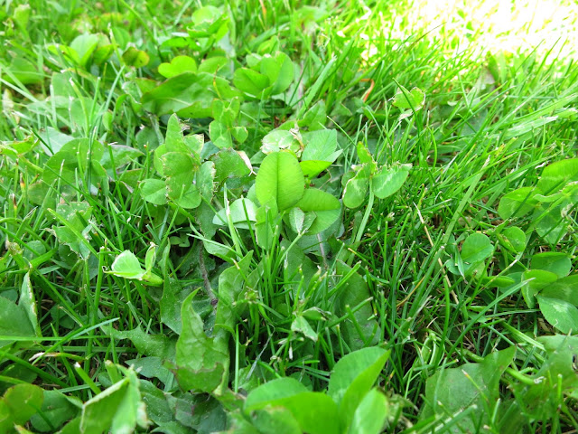 Clover in cut grass.