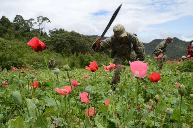 Destruyen 960 mil plantas de amapola en Guerrero