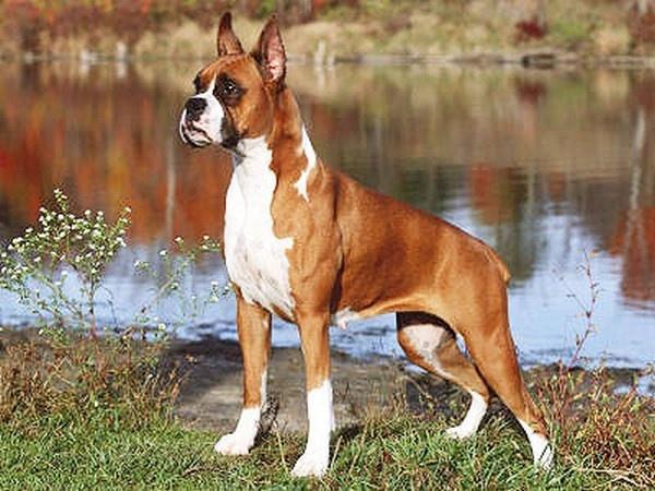 Giống chó Boxer