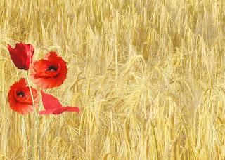 https://pixabay.com/pt/papoila-vermelha-papaver-rhoeas-143484/
