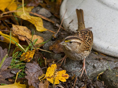 Photo of tan-striped White-throated Sparrow on ground amid leaf litter