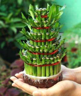 Cara Merawat Tanaman Bambu Hoki