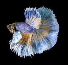Best Crowntail Betta Male Fish Care Guide