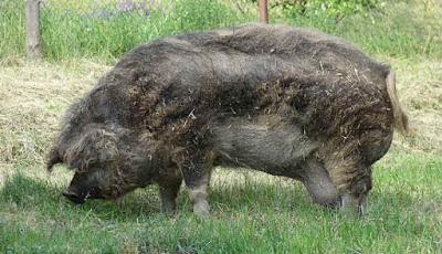 Gambar babi ternak