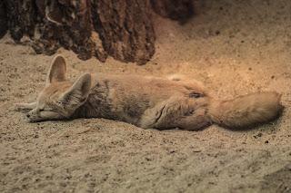Fennec Fox as a Pet