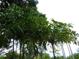 Dypsis pinnatifrons - Palmier malgache