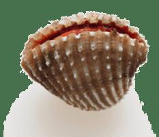 blood cockle : loài sò huyết (bơ-lất có-cơ)