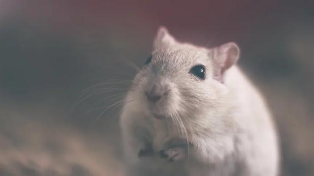 hantavirus virus bahaya dari tikus