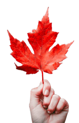 A Canadian leaf on hand with transparent background.