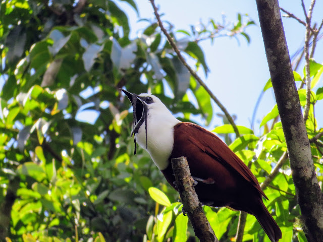 Costa Rica Birds: three-wattled bell bird