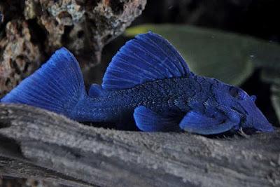 Ikan Sapu-Sapu Baryancistrus beggini ( Pleco L239 ) - Ikanesia
