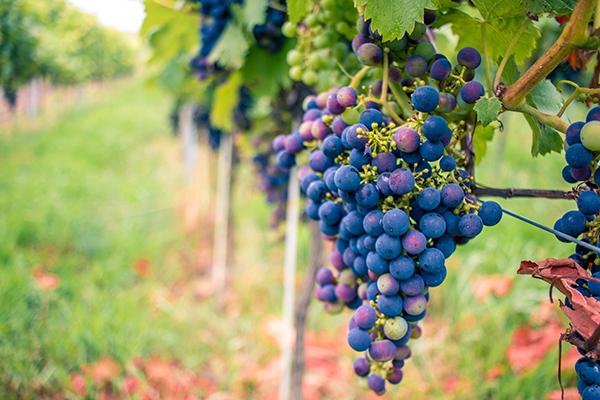 Magiczne polskie winnice - Winnica Jadwiga