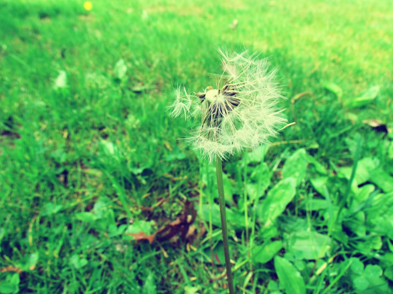 Green Tall Grass of New England in Summer + Wishing on a Dandelion and Blowing Dandelion Seeds