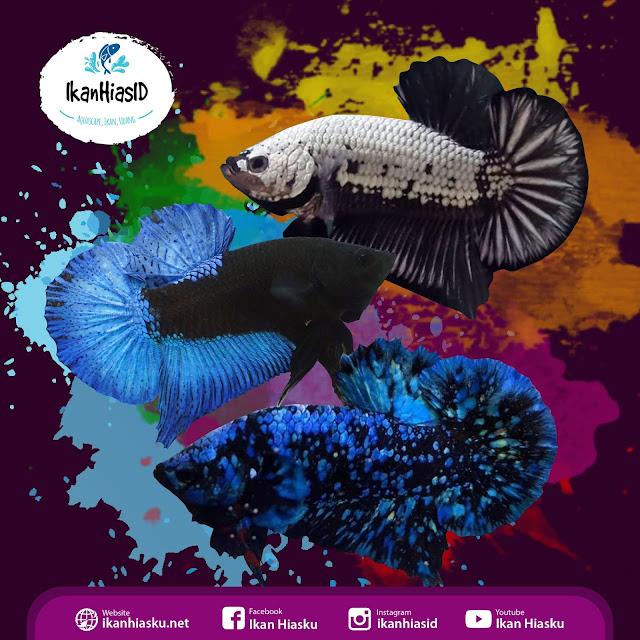 Kategori Kontes Cupang Black Series - Ikanhiasku.net