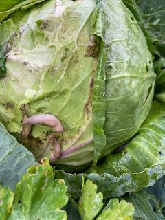 Slugs on Cabbage