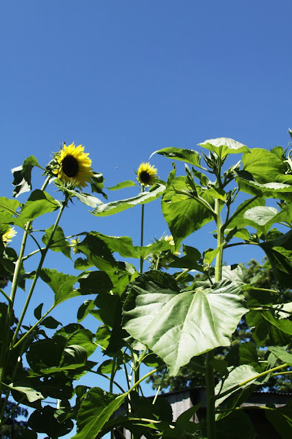sunflowers, summer, blue sky, Anne Butera, My Giant Strawberry