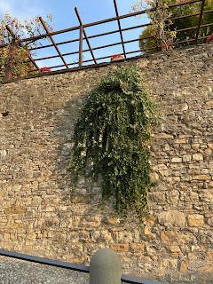 A caper plant on a wall along Via Sudorno.