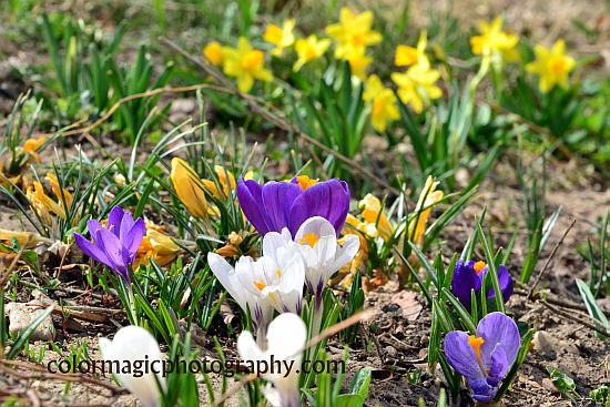 Dwarf yellow daffodils as background to purple crocus