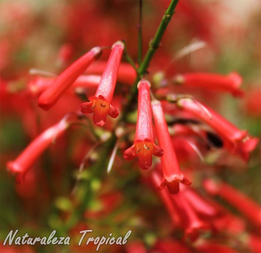 Detalle de las flores de la planta Lágrimas de Cupido, Russelia equisetiformis