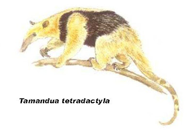 el oso hormiguero en Argentona Oso melero Tamandua tetradactyla