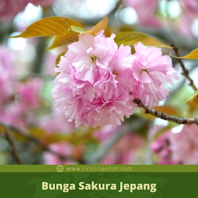 Ciri Ciri Bunga Sakura Jepang
