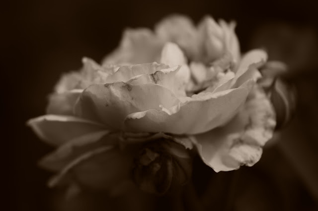 St. Swithun Rose, rose, amy myers photography