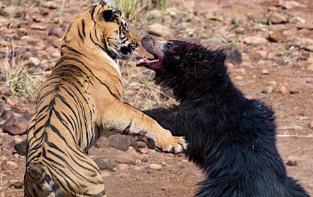 Bear v tiger! Astonishing battle between two ferocious animals is caught on film... but who came out on top?