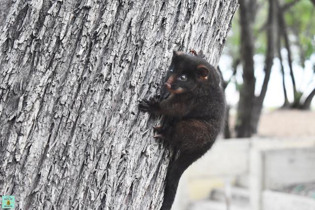 Possum en Western Australia