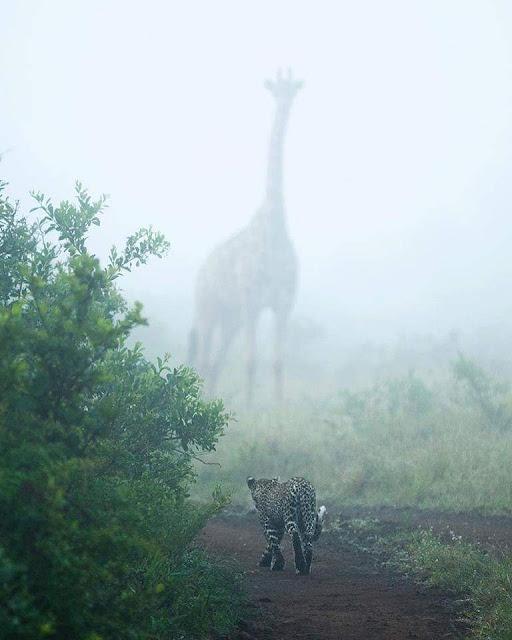 giraffe in the mist