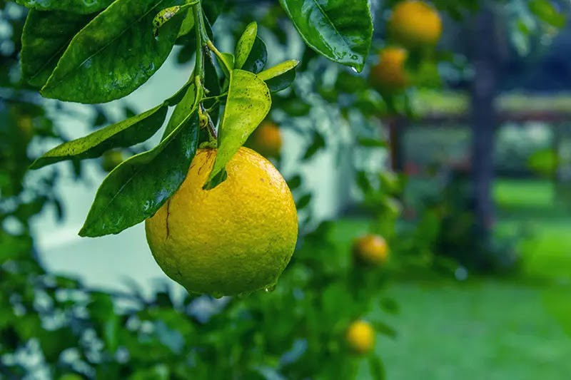 fruit tree fruit tree disease persimmon kumquat pear guava apricot nectarine durian fruit Fruit Tree Disease Prevention