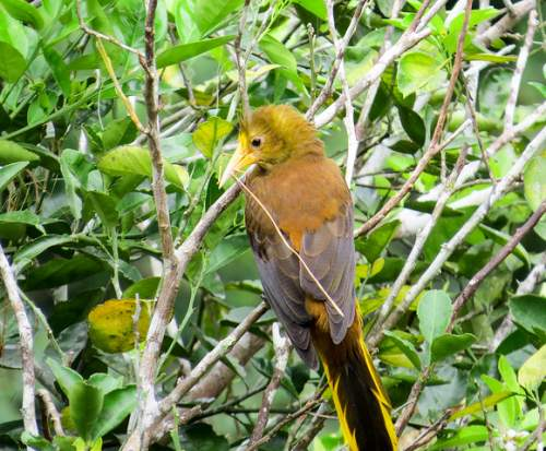 Birds of South America - Photo of Russet-backed oropendola - Psarocolius angustifrons