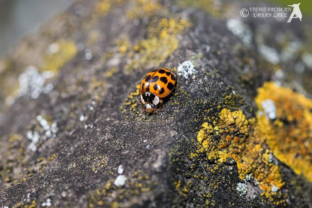 Harlequin Ladybird and Lichen - Old Wolverton, Milton Keynes