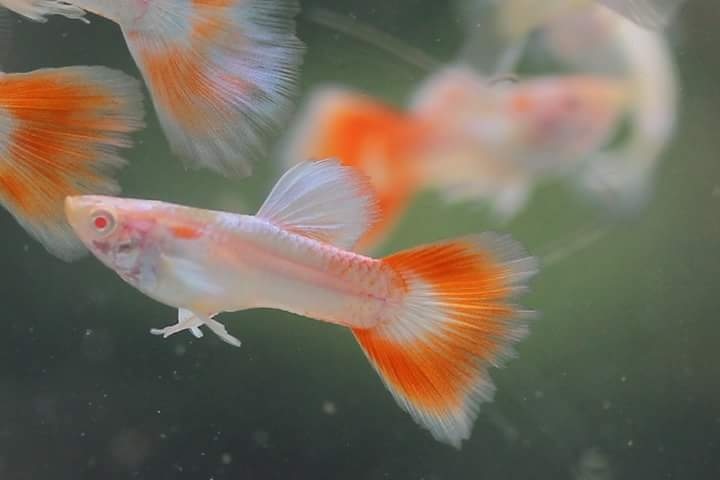 Guppy fish breeding cycle - messe-portal info